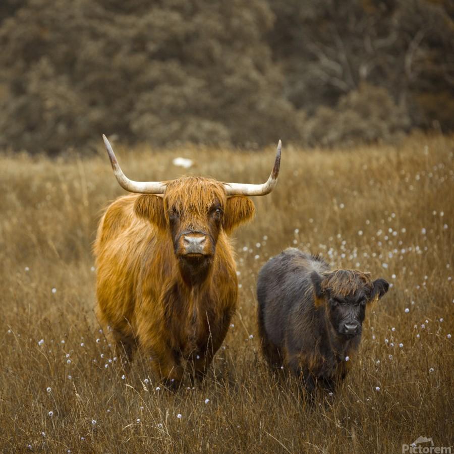 Highland Cows  Print