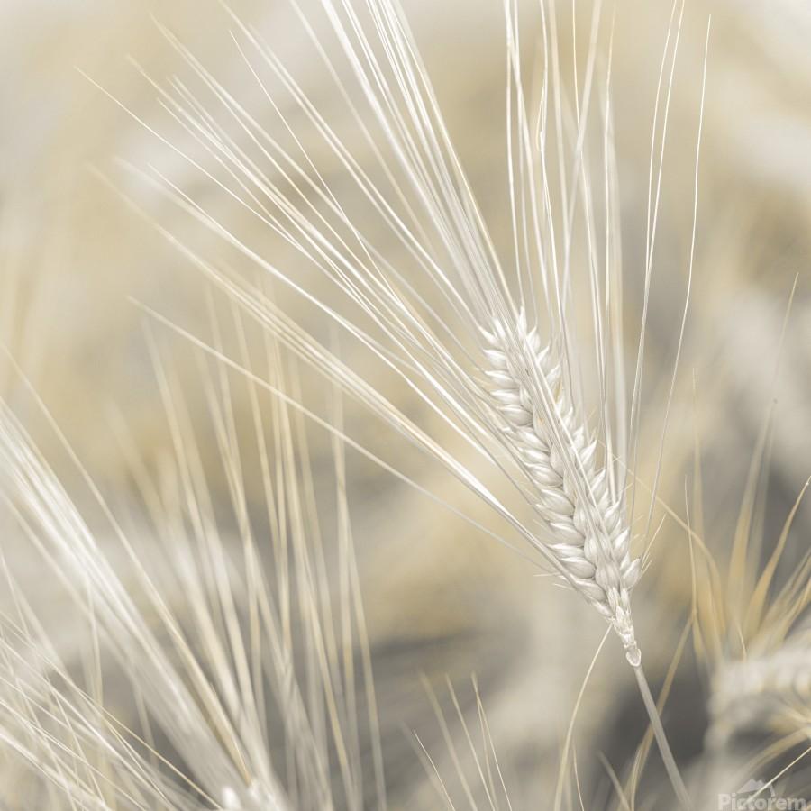 Wheat close-up  Print