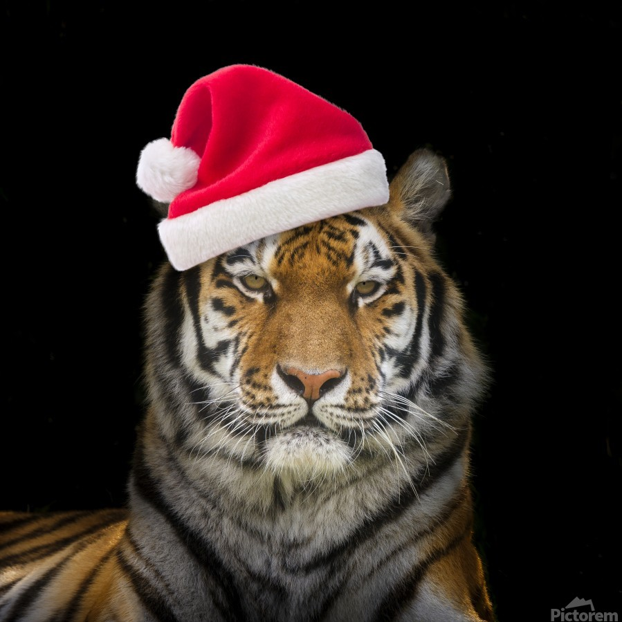 Tiger with Santa hat  Print