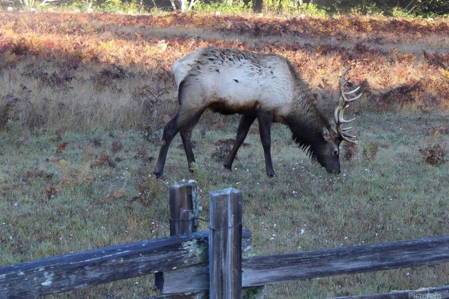 Bowing Elk  Print