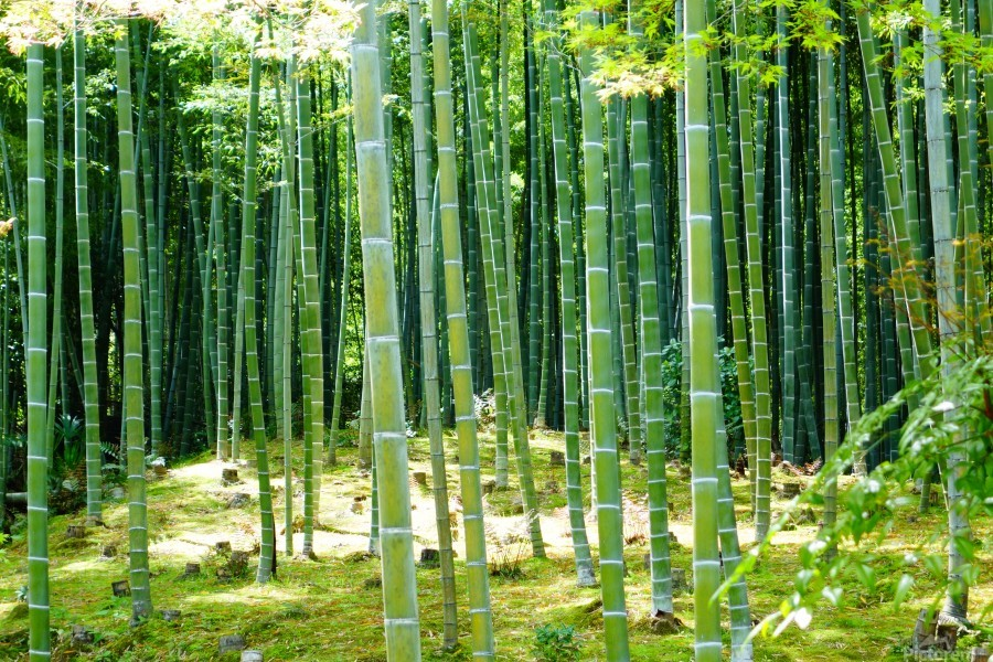 Bamboo Forest  Print