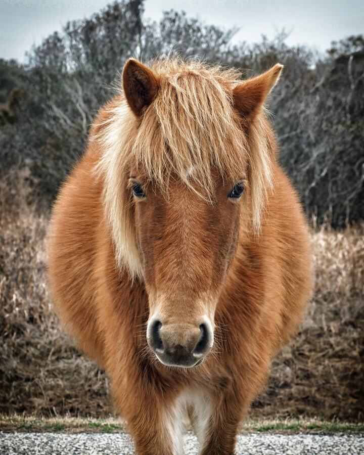 Assateague Horse Miekes NoeLani  Print