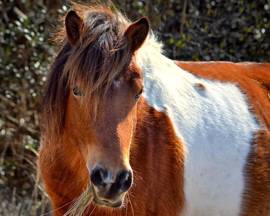 Assateague Pony Ms Macky  Print