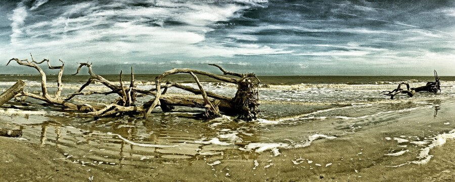 Driftwood Beach Panorama 103 Blackgold  Print
