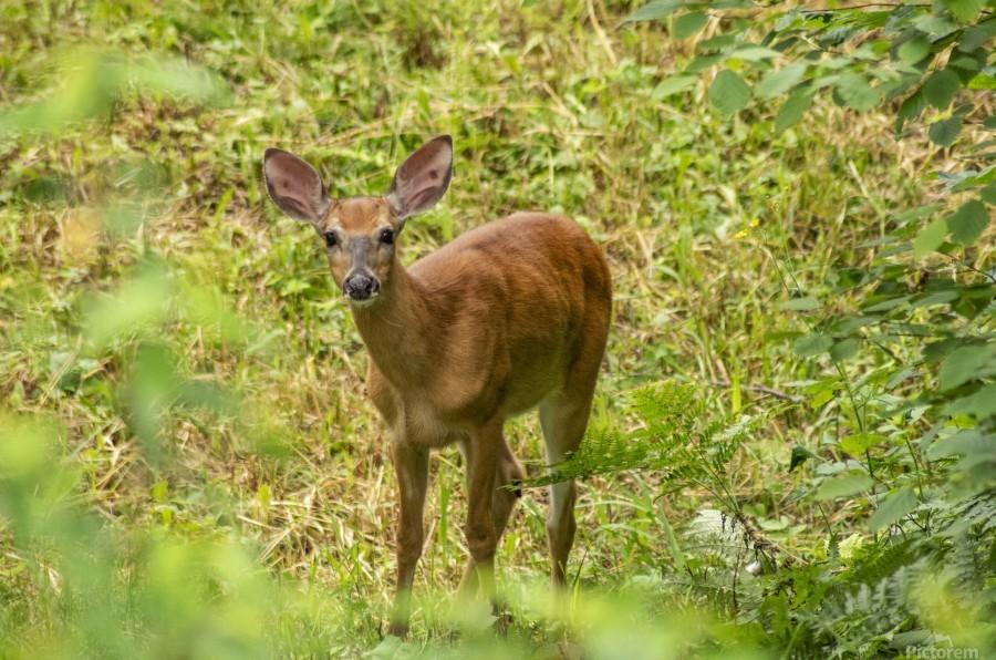 Oh Deer  Print