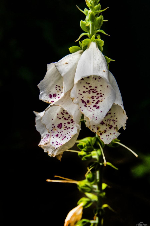 Foxgloves Flowers  Print