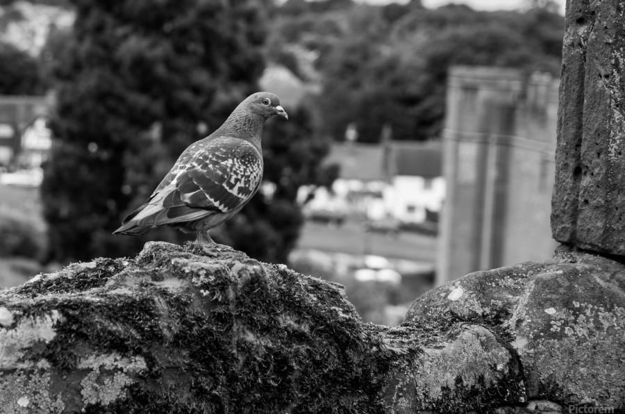 Black and White Pigeon  Print