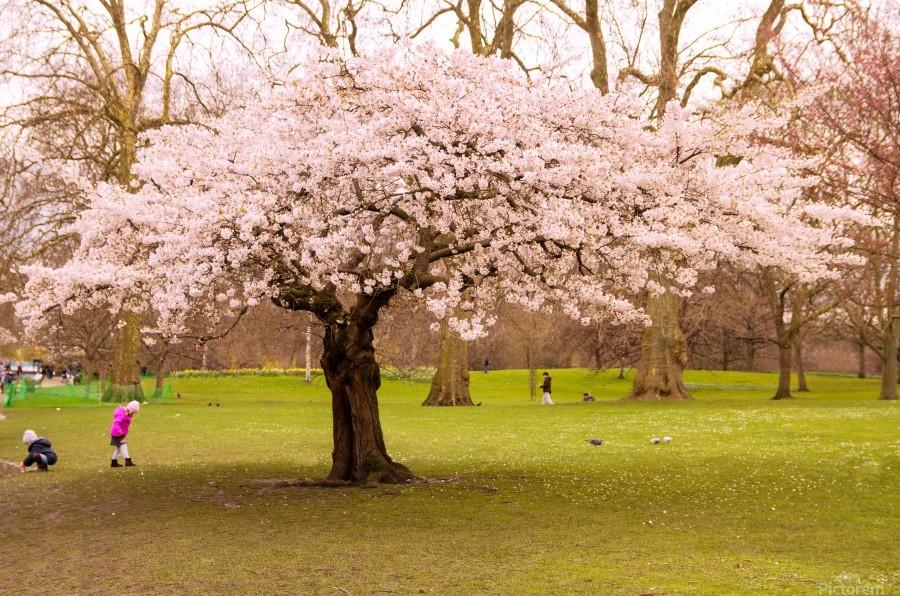 Blossom Tree  Print