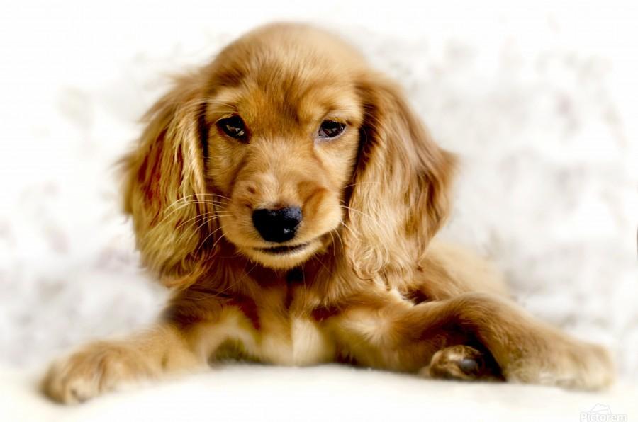 Cute Cocker Spaniel Puppy  Print