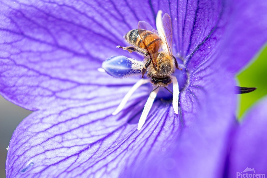 Pollinating Bee  Print