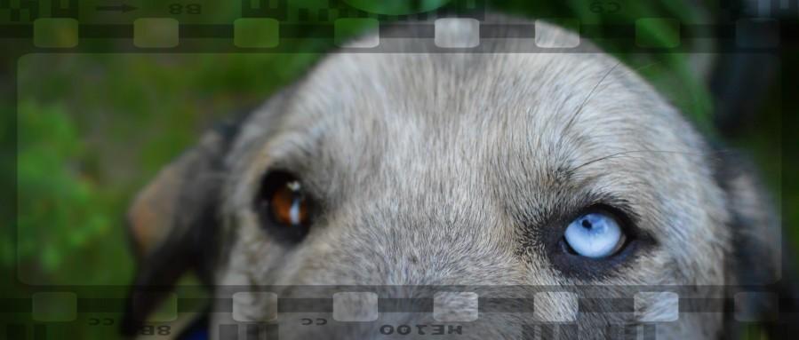 Blue Eyed Dog  Print