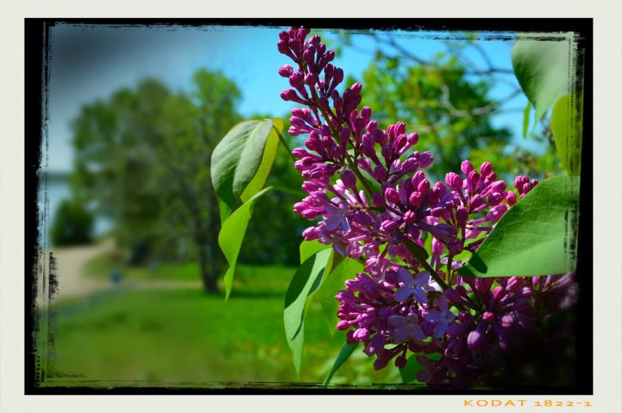 Purple Flowers  Imprimer