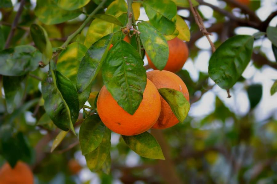 Oranges  Print