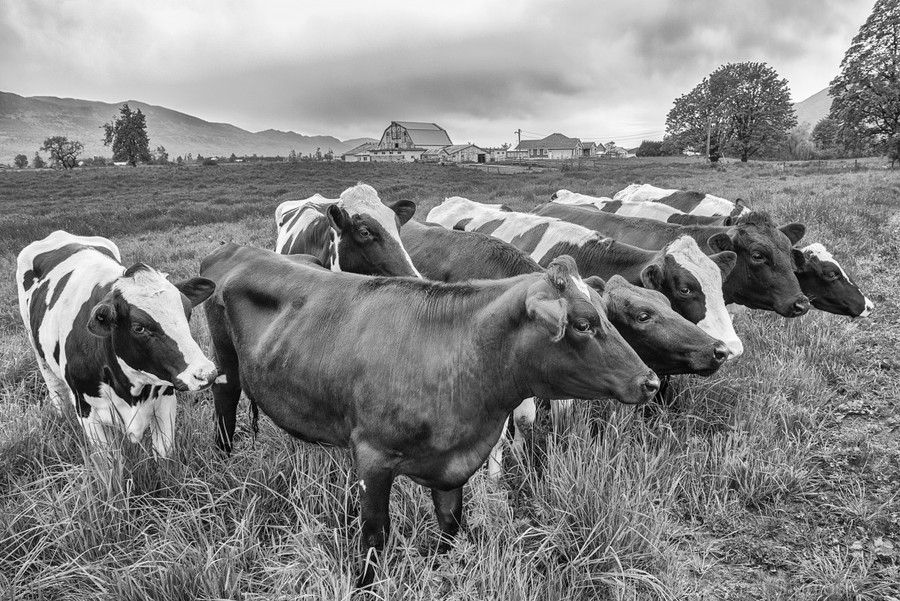 Cow Herd up Close  Print