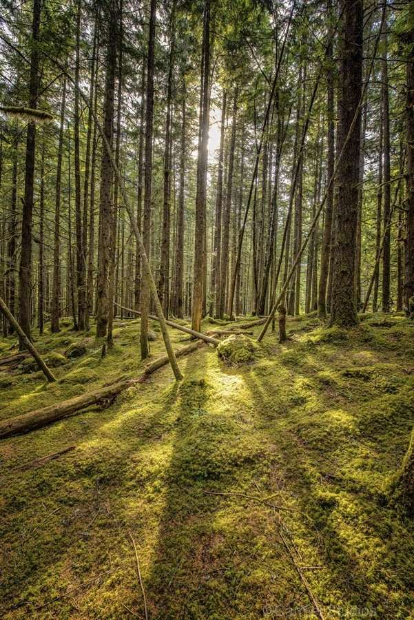 Mossy Forest Morning  Print