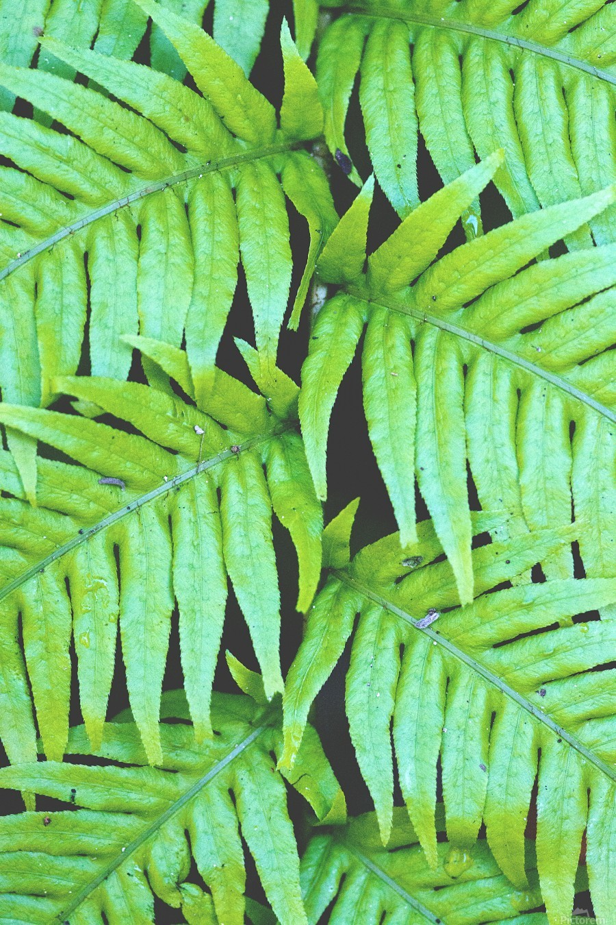 Fern Leaves  Print
