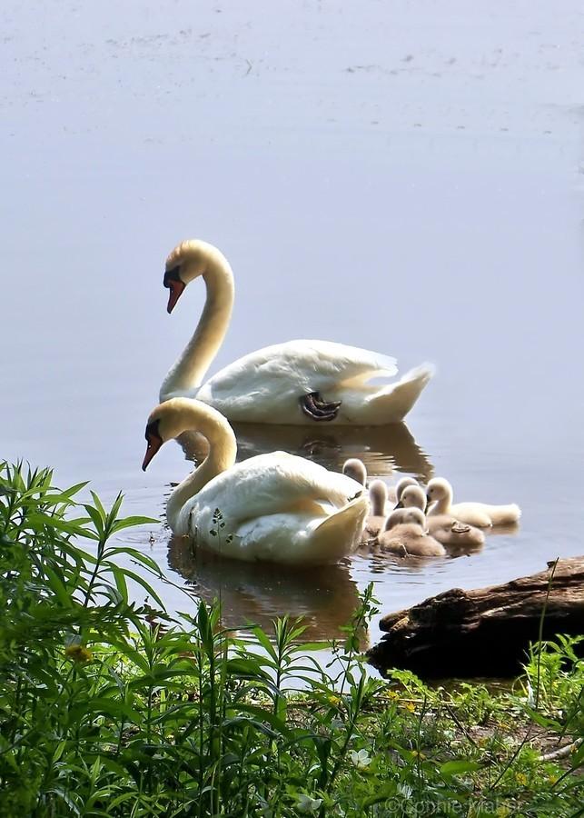 Swans and Sygnets on lake  Print