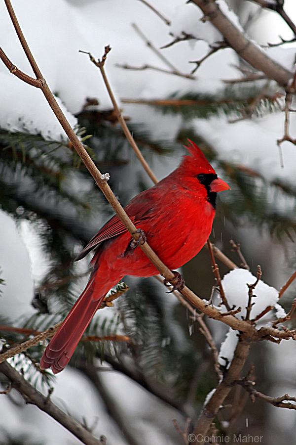 Vertical Cardinal  Print