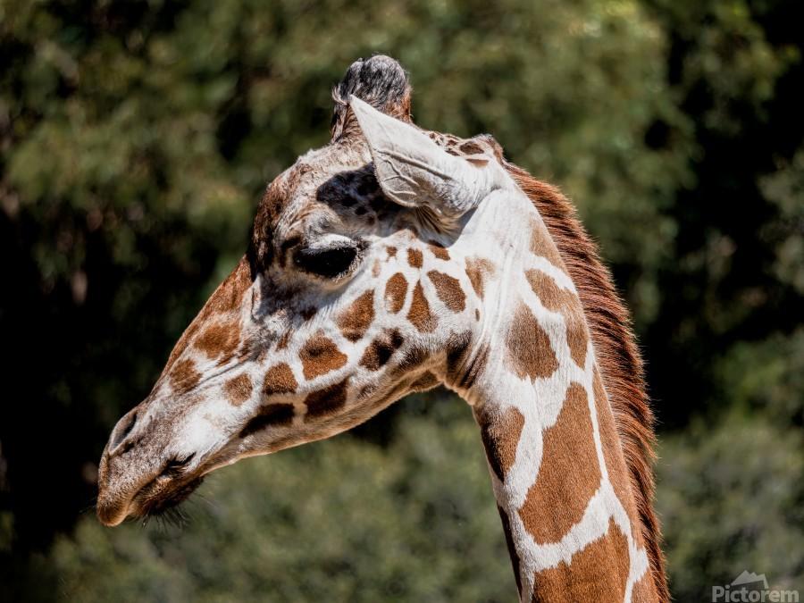 Profile of a Giraffe  Print