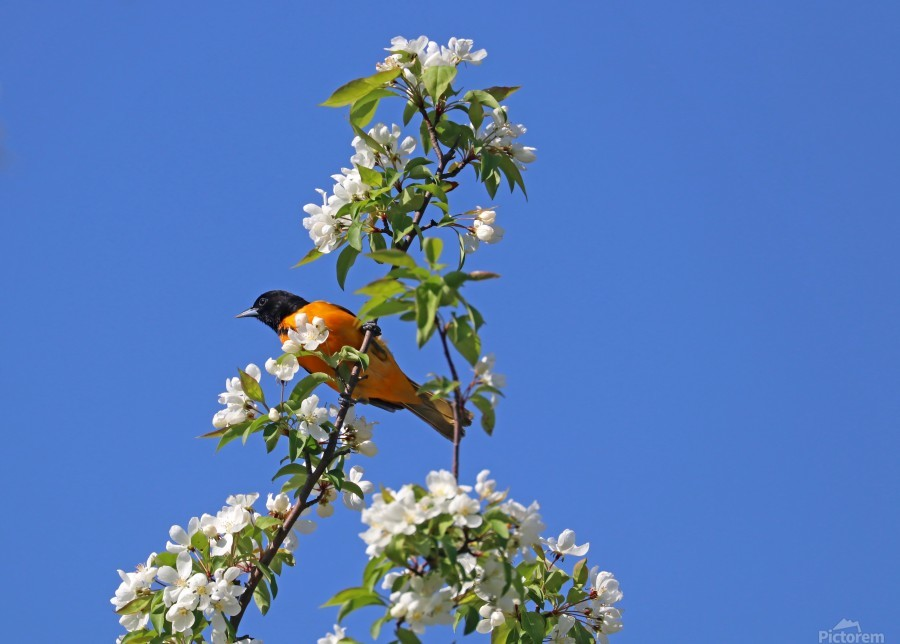 Oriole And White Blossoms  Imprimer