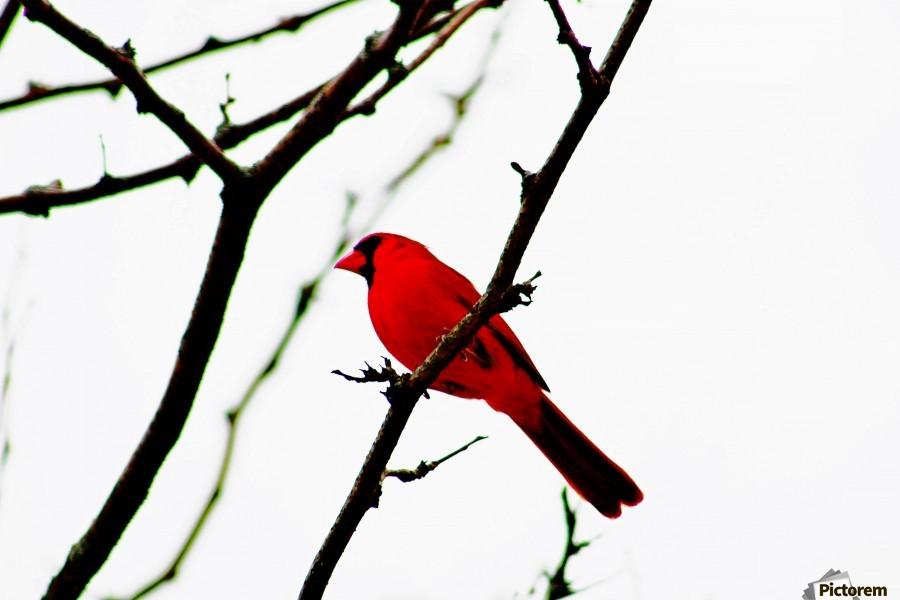Cardinal Male  Print