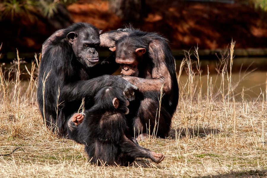 Chimpanzee Family  Print