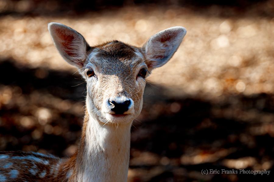 Fallow Deer 1  Print