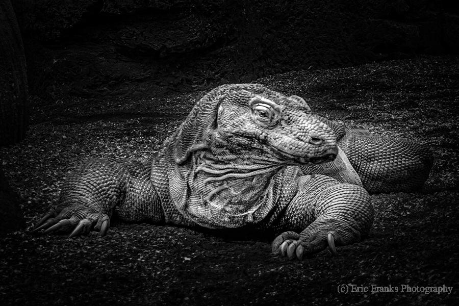 Komodo Dragon  Print