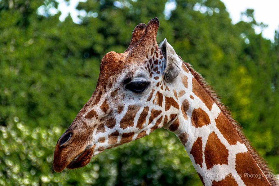 Reticulated Giraffe 1  Print
