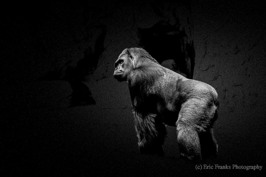 Silverback Gorilla Edit Edit  Print