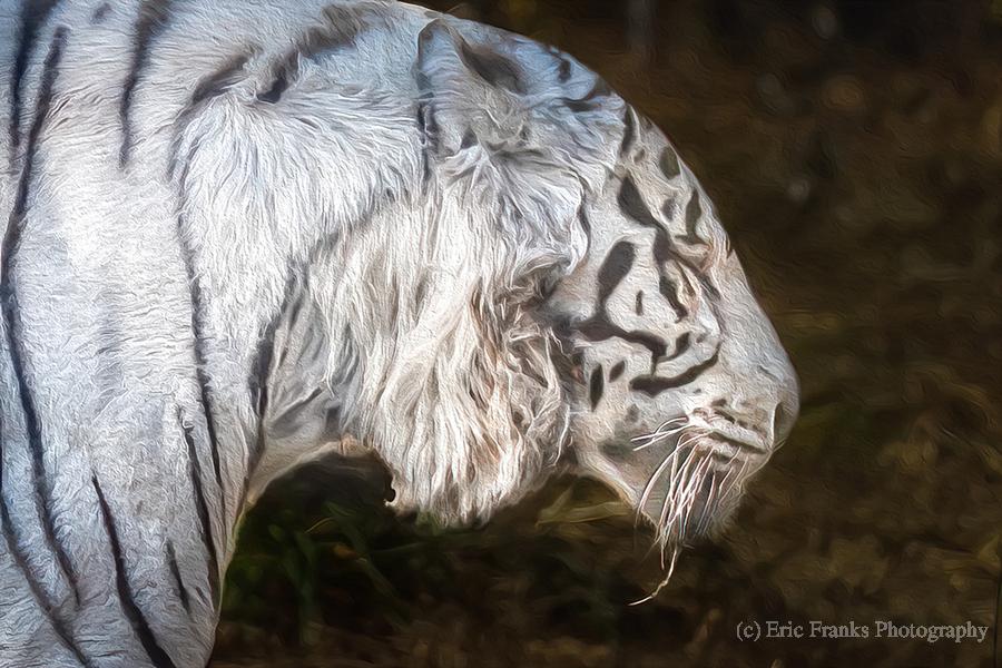 White Bengal Tiger 2  Print