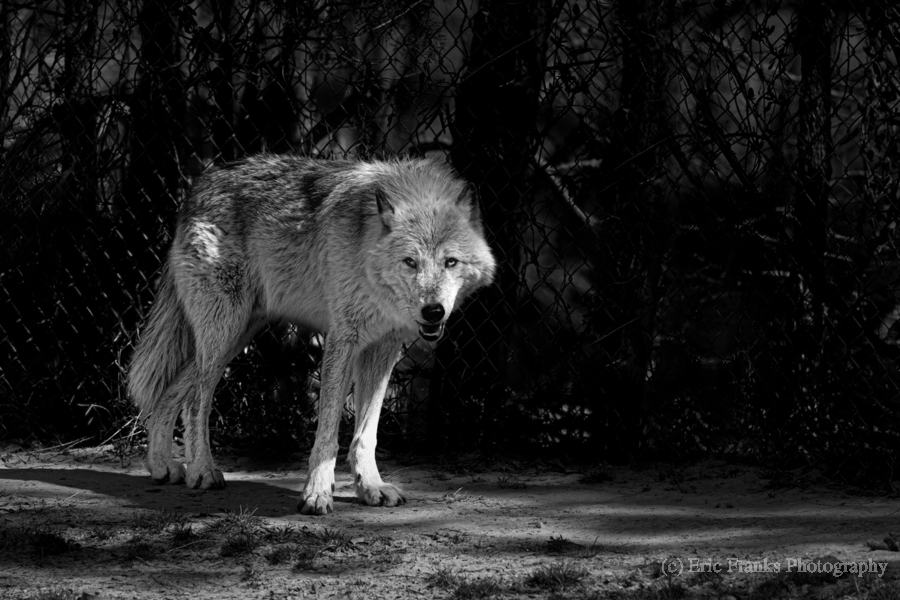 Wolf 1  Print