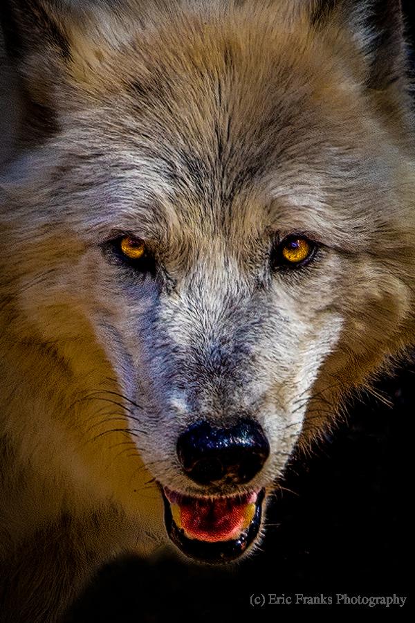 Wolf 2  Print