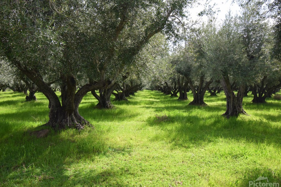 Olive Orchard In Spring  Print