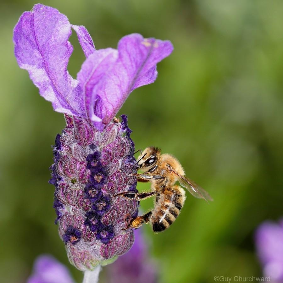 Bee On Lavender  Print