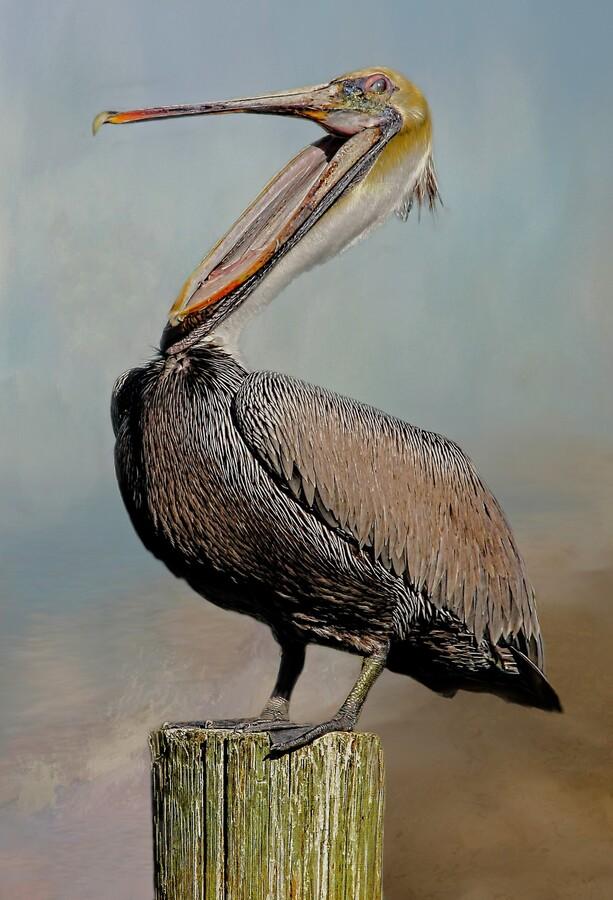 Belly Laugh-Brown Pelican   Print