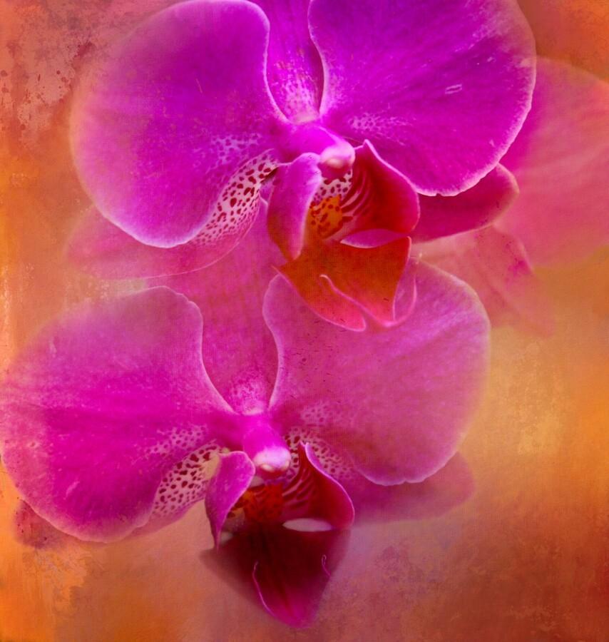 Colorful Phalaenopsis  Print