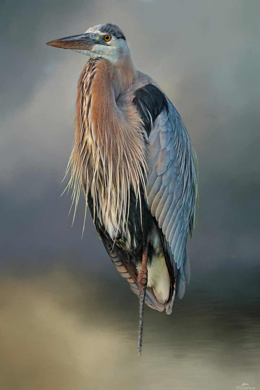 Great Blue Heron At Rest  Print