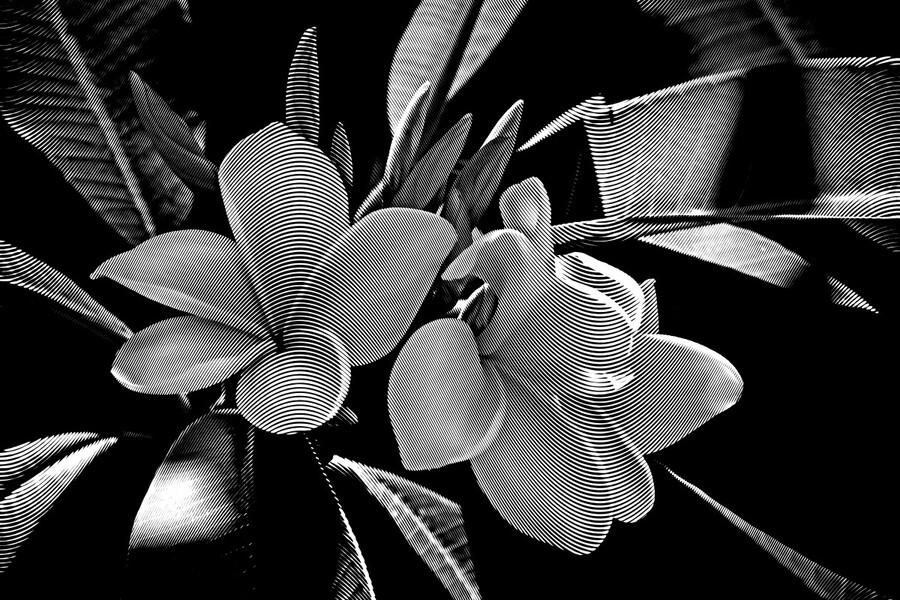 Plumeria In Black And White  Print