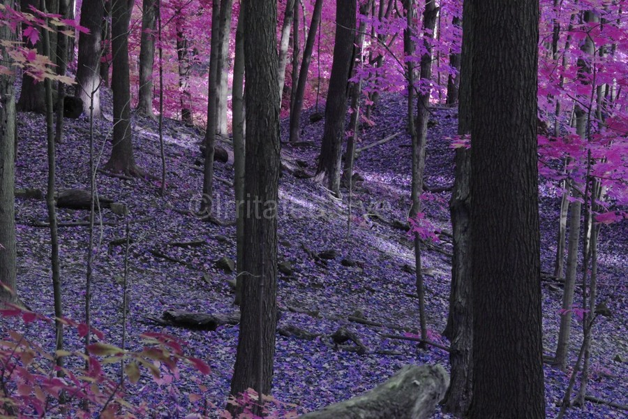 Purple Forest  Print
