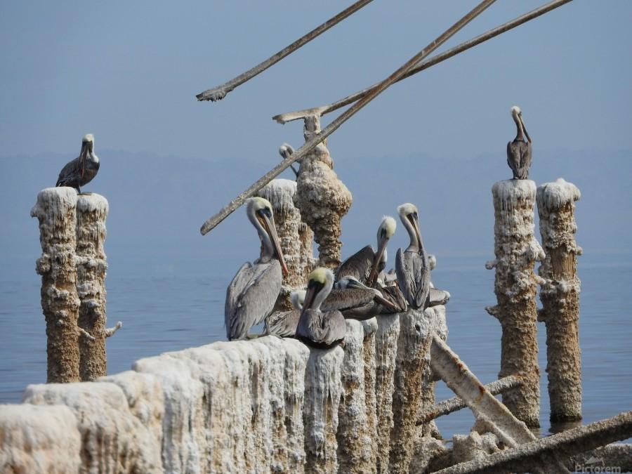 Brown Pelicans  Print