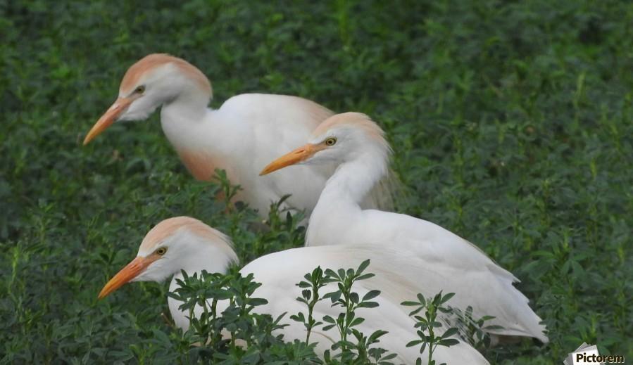 Cattle Egrets  Print