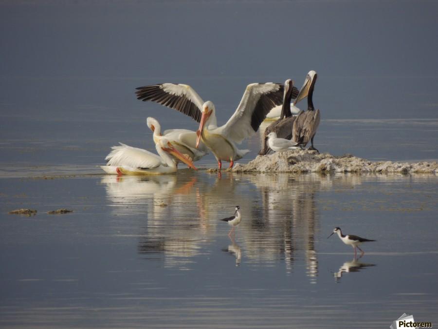 Pelican Reflections  Print