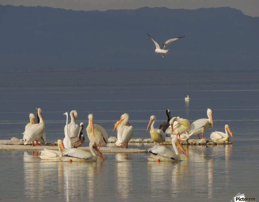 Pelicans of the Salton Sea  Print