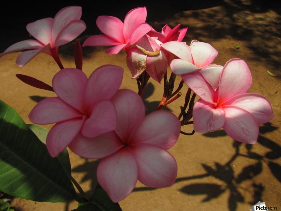 Pink Plumeria 2  Print
