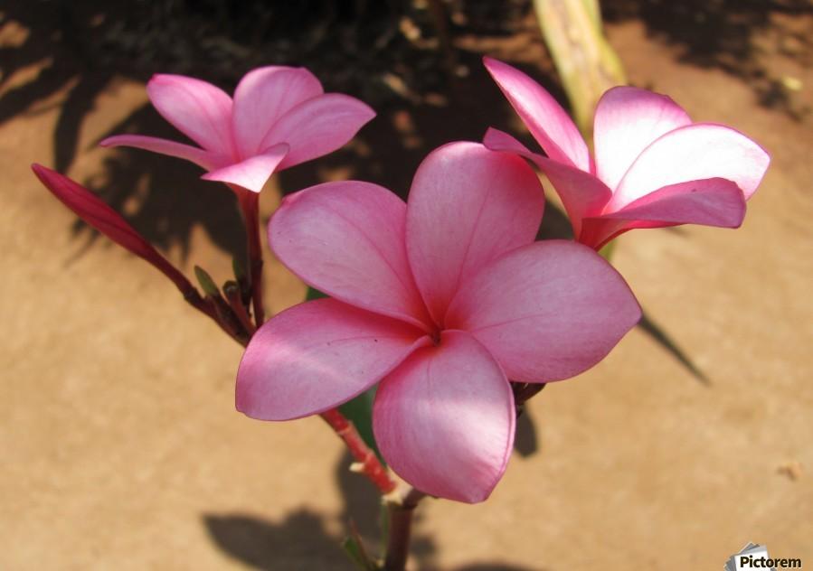 Pink Plumeria  Print