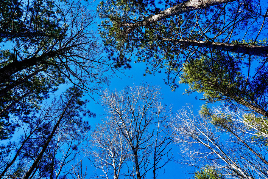 Towering Trees Bright Blue Sky  Print