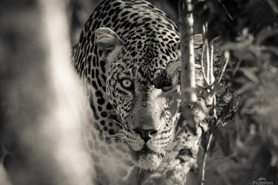 Eyes of the Leopard  Print