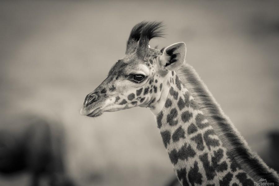 Girafe Calve  Print