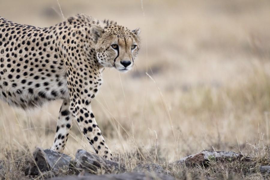 Cheetah Bro  Print